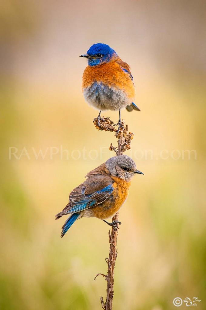 Western Bluebirds | Western Bluebird Couple | Bluebird